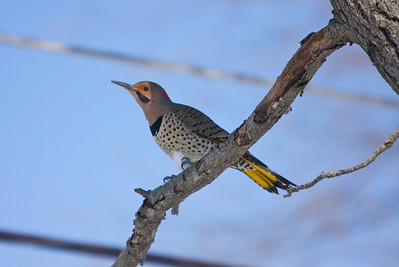 Northern Flicker Copyright 2010, Tom Farmer