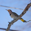 Northern Flicker<br /> Copyright 2010, Tom Farmer