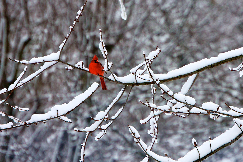 Cardinal<br /> Copyright 2010, Tom Farmer