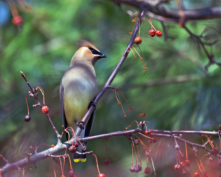 Cedar Waxwing<br /> Copyright 2009, Tom Farmer