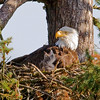 Hungry young Bald Eagle