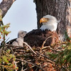 Young Bald Eagle and parent in nest