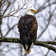 "Bald Eagle (Haliaeetus leucocephalus) ""Stares into the distance""[20191121]"