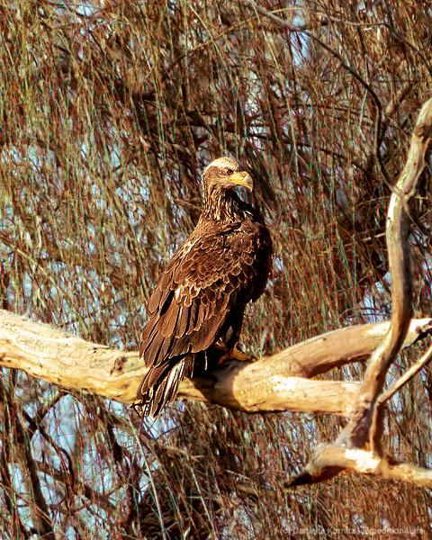 Juvenile Bald Eagle perched on a Branch