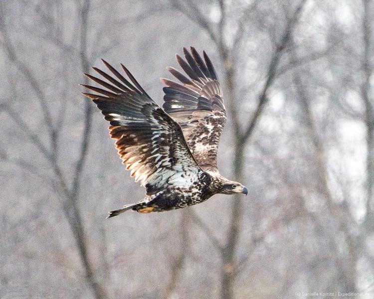 Juvenile Blad Eagle