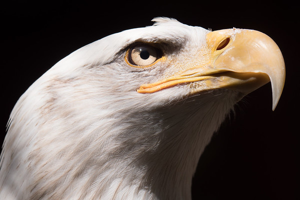 This beautiful bald eagle is a permanent resident of the Sylmar Wildlife Learning Center in California.  It was one of the first shots I took with my first ILC camera and is still one of my favorites.