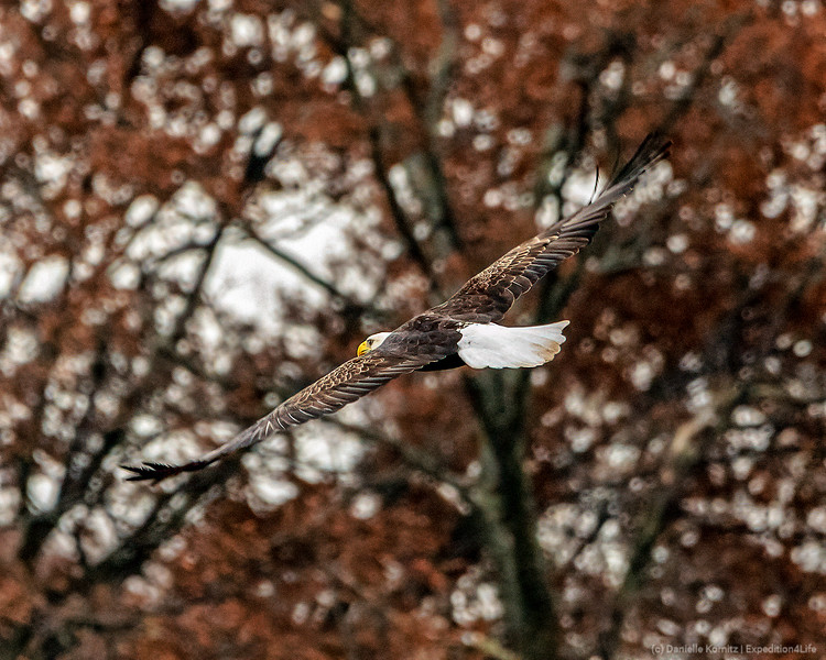 """Bald Eagle (Haliaeetus leucocephalus) """"In Flight - with leaves in the background"""" [20191121]"""