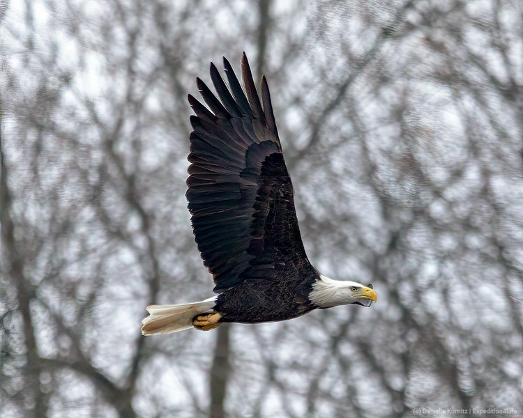 """Bald Eagle (Haliaeetus leucocephalus) """"In Flight with Branches in the background."""" [20191121]"""