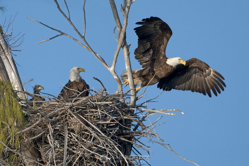 Bald eagle taking off from nest with baby