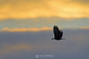 Bald eagle in sunset