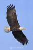 Frosty bald eagle vertical spread