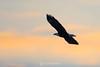 Bald eagle in sunset