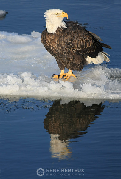 Bald eagle reflecting