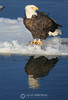 Bald eagle reflecting