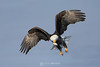Frosty bald eagle hover with fish