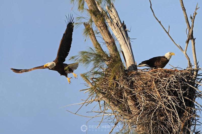 Bald eagle leaving nest
