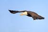 Bald eagle glide