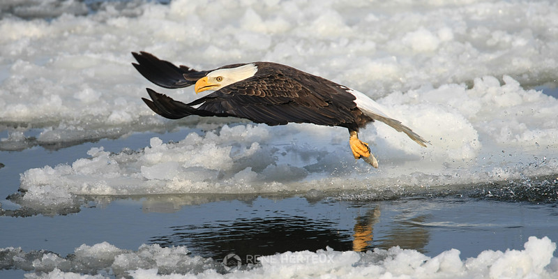 Bald eagle glide with fish