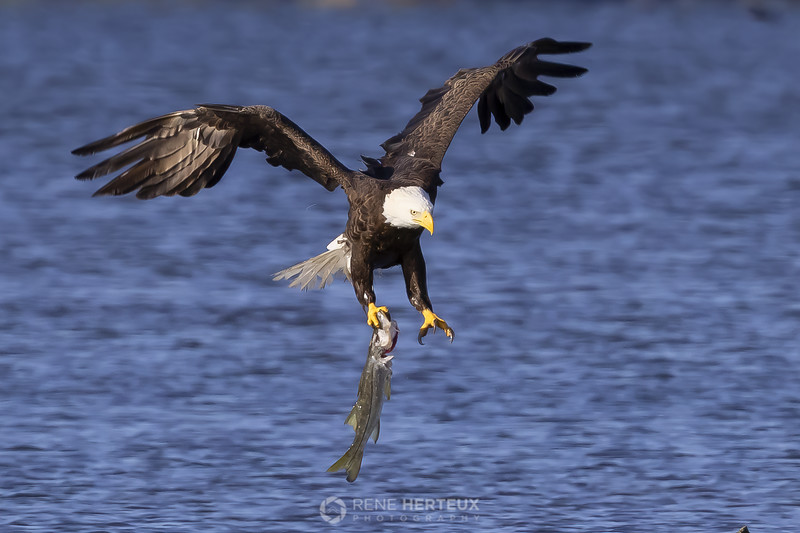 Bald eagle with snook