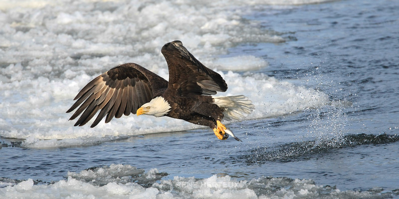 Bald eagle takeoff with fish