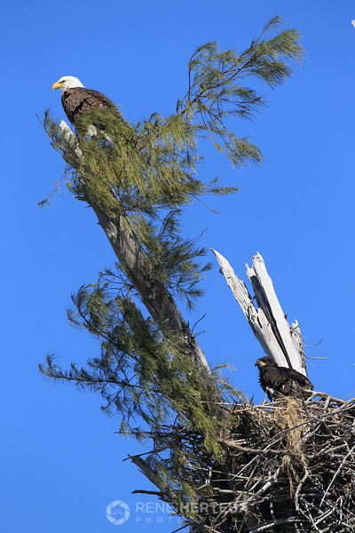 Adult eagle and chick