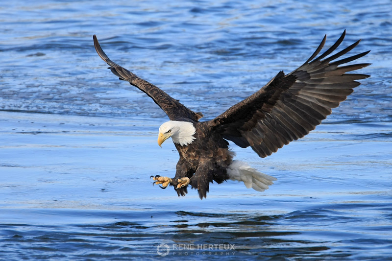 Bald eagle about to pounce