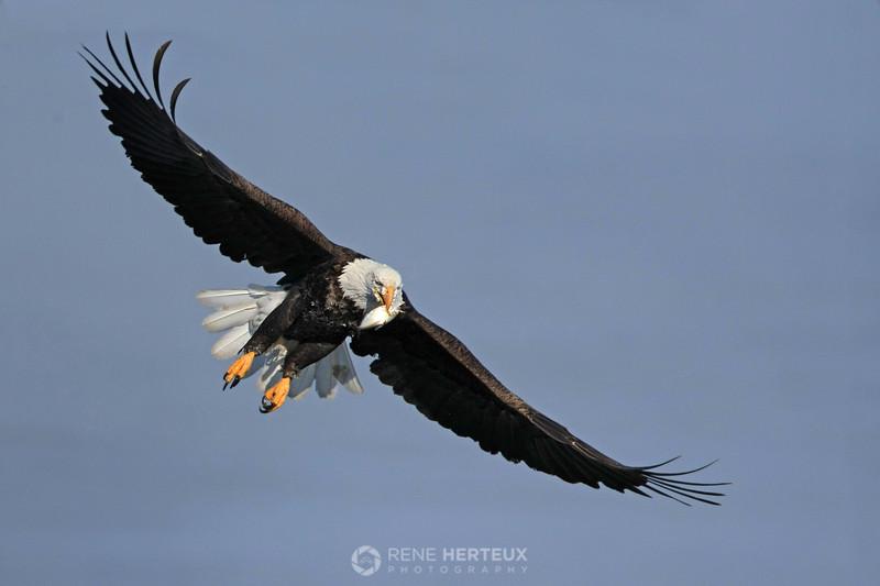 Bald eagle side spread