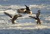Bald eagle squabble over fish