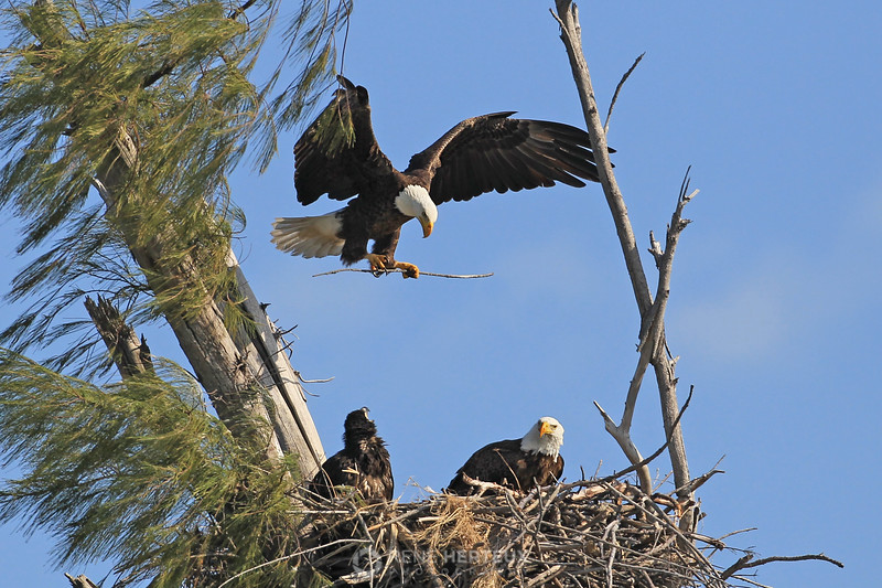 Bald eagle coming in with a stick