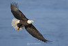 Bald eagle banking with fish