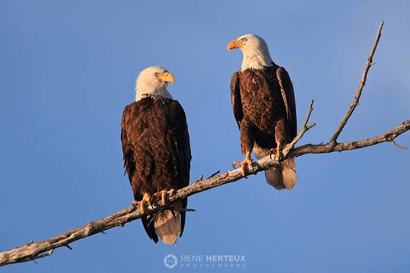 Male and female bald eagles