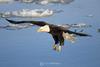 Bald eagle hover