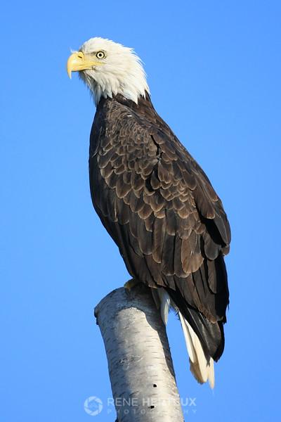 Bald eagle on birch