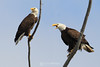 Bald eagle pair calling to their chick