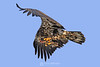 Juvie bald eagle with fish