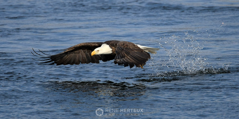 Bald eagle low glide with catch