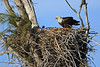 Bald eagle with chick