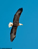 bald eagle at the Mississippi River