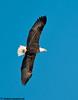 bald eagle at the Mississippi River