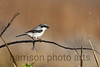 Loggerhead Shrike<br /> Savannah National Wildlife Refuge, SC