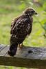 Broad-Wing Hawk - Juvenile <br /> Kanuga Conferences, Hendersonville, NC