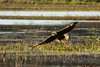 Bald Eagle<br /> Blackwater National Wildlife Refuge, MD