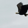 Bald Eagle in flight - Stock Photo by Nature Photographer Christina Craft