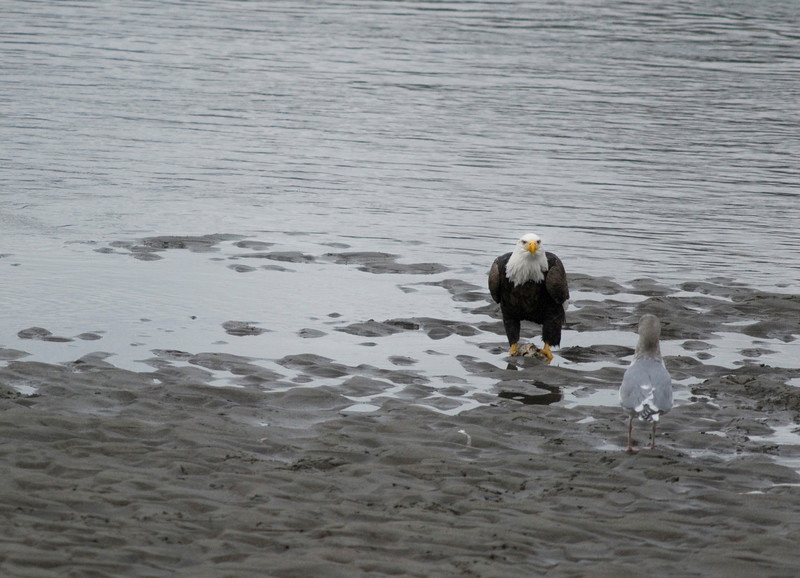 An eagle defends its salmon catch against a pesky sea gull. Bald eagles congregate in large numbers during salmon season - two places in North America attract the highest concentrations of eagles in the world: Brackendale (near Squamish) in British Columbia and Haines, Alaska<br /> <br /> The Bald Eagle was officially declared the National Emblem of the United States by the Second Continental Congress in 1782. It was selected by the U.S.A.'s founding fathers because it is a species unique to North America. Ben Franklin wanted the wild turkey to be the national bird, because he thought the eagle was of bad moral character. The Bald Eagle has since become the living symbol of the U.S.A.'s freedoms, spirit and pursuit of excellence. Its image and symbolism have played a significant role in American art, folklore, music and architecture. <br /> <br /> <br /> The Nature Stock Photography Library features rights managed and royalty free wildlife, nature, travel stock photography and licenses for stock photos. We also sell high quality fine art nature prints and photo products. All images are by professional wildlife and nature photographer Christina Craft.