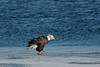 ABE-10001:Bald Eagle walking on ice on Mississippi River near Read's Landing, MN