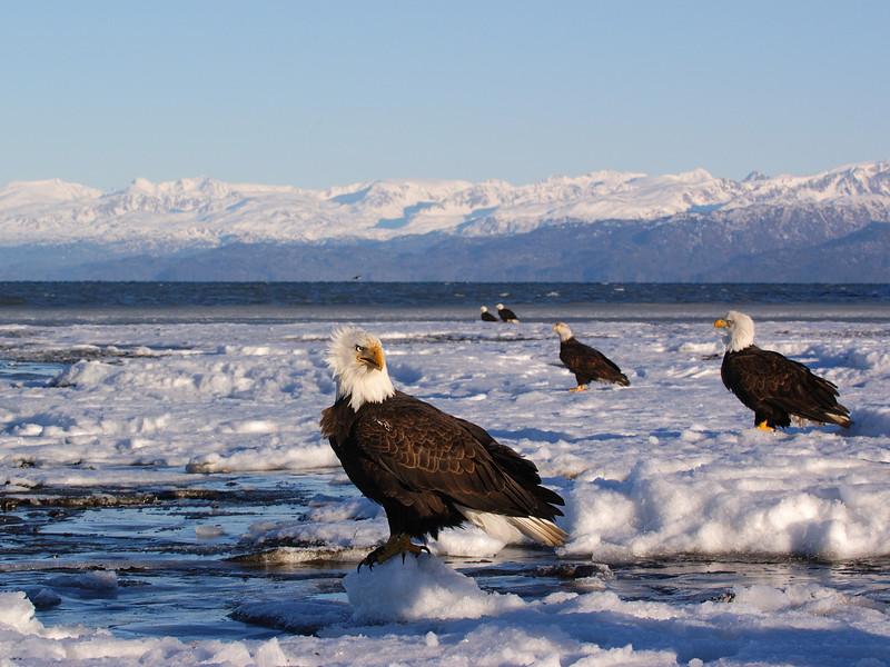 ABE-5247: Bald Eagles on Kachemak bay