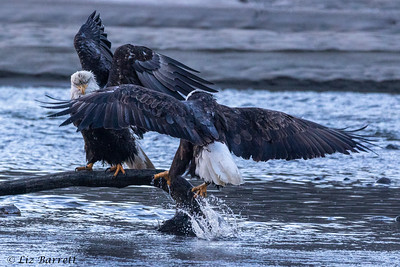 0U2A5158_Eagles
