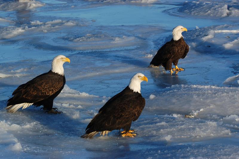 ABE-5386: Eagle trio
