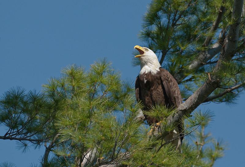 ABE-10060: Adult Bald Eagle