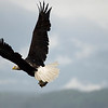 Bald Eagle catching  a fish - Stock Photo by Nature Photographer Christina Craft